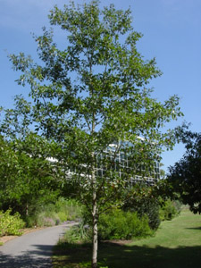 Georgia oak tree in garden
