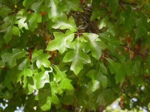 Georgia oak leaves