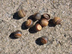 Laurel oak acorns