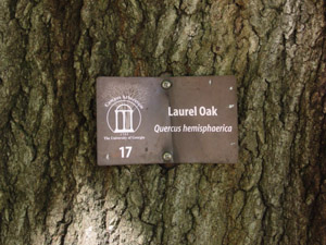 Laurel oak bark