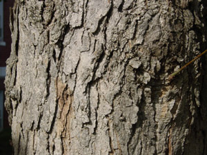 Swamp chestnut oak or Basket oak bark
