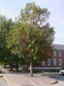Swamp chestnut oak or Basket oak tree in landscape