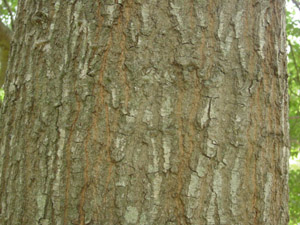 Water oak bark