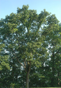 Chestnut oak tree canopy