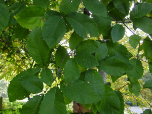 Chestnut oak leaves