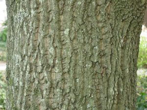 Chestnut oak bark