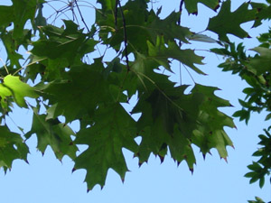 Northern red oak leaves