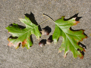 Shumard oak leaves and acorns