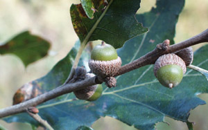 Post oak acorns on branch