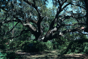 Live oak tree in forest