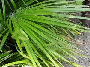 Needle Palm fronds