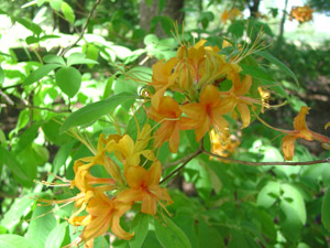 Flame azalea flowers and foliage