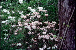 Piedmont azalea in the landscape