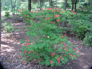 Plumleaf azalea in the landscape