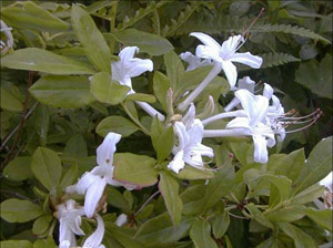 Swamp azalea flowers and foliage