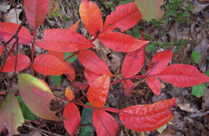 Winged sumac fall leaf color