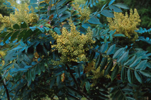 Winged sumac in bloom