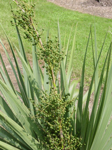 Dwarf Palmetto (Bluestem Palmetto) fruit