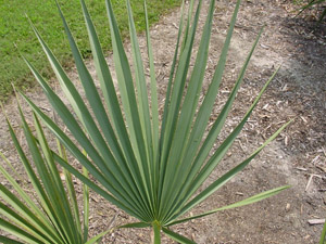 Dwarf Palmetto (Bluestem Palmetto)