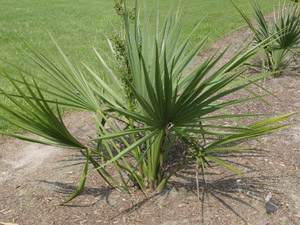 Dwarf Palmetto (Bluestem Palmetto) in the landscape