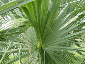 Palmetto palm or Cabbage palm frond