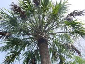 Palmetto palm or Cabbage palm tree canopy