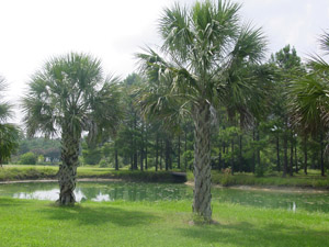 Palmetto palm or Cabbage palm trees in the landscape