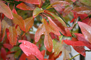 Sassafras red leaves