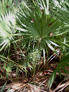 Saw palmetto fronds