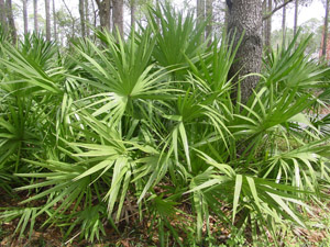 Saw palmetto in the landscape