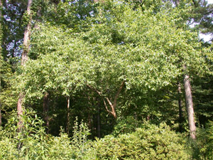 Buckthorn bully in landscape