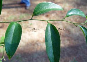 Lanceleaf Smilax, Sweet-Scented Smilax leaves