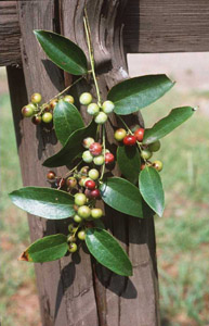 Lanceleaf Smilax, Sweet-Scented Smilax berries and leaves