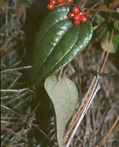 Dwarf Smilax berries and leaves
