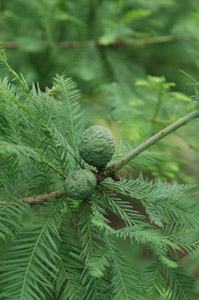 Bald cypress fruit and foliage on branches