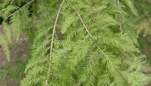 Bald cypress foliage on branches
