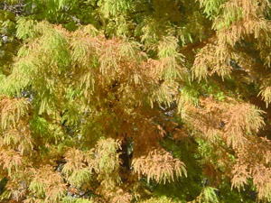 Bald cypress, fall color
