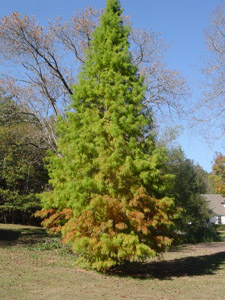 Bald cypress tree in landscape
