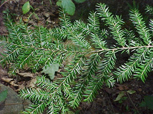 Eastern hemlock foliage on branch
