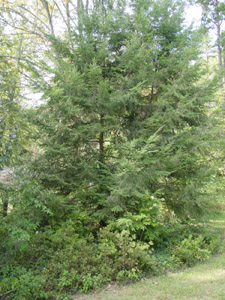 Eastern hemlock tree in forest