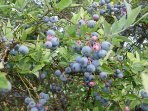 Rabbiteye Blueberry Cultivars berries