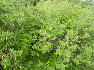 Southern Highbush Blueberry foliage