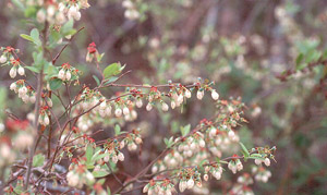 Southern Highbush Blueberry flowers