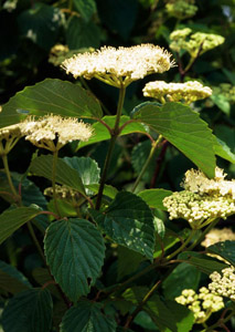 Arrowwood Viburnum flowers