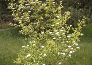 Blackhaw Viburnum in the landscape