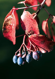 Rusty Blackhaw fruit and red leaves