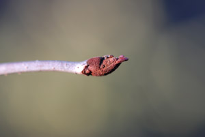 Rusty Blackhaw bud