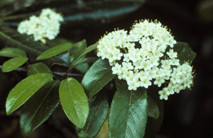 Rusty Blackhaw flowers and foliage