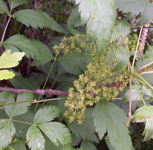 Yellow-Root flowers and foliage