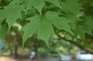 green sugar maple leaves